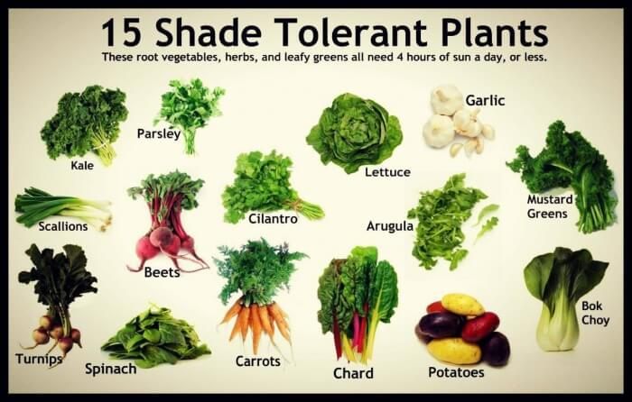 15 Shade Tolerant Plants! These Root Vegetables, Herbs and Leafy
