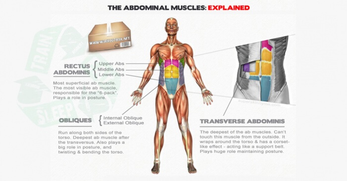The Abdominal Muscles: Explained - Sixpack Ab Fitness Tips Upper