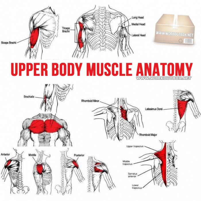 Upper Body Muscle Anatomy - Fitness Healthy Workout Tips Strong