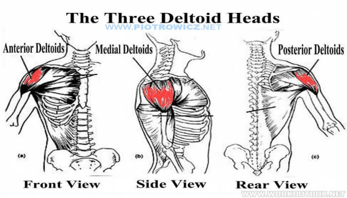 The Three Deltoid Heads - Shoulder Muscle Healthy Fitness Tips