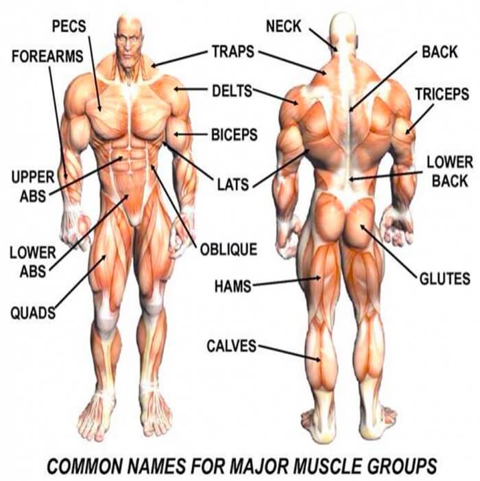 Major Muscle Group Names - Healthy Fitness Tips Tricks Training
