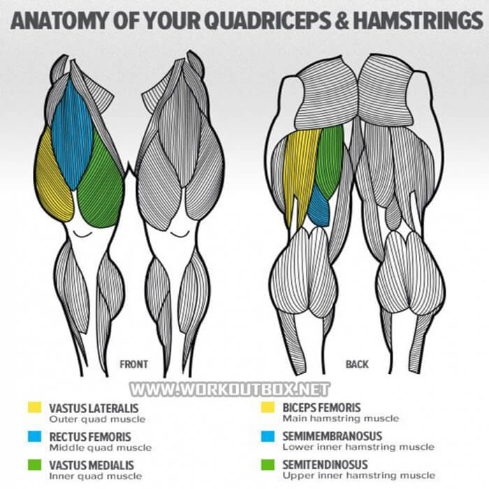 Anatomy Of Your Quadriceps & Hamstrings - Squats Muscles Fitness